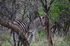 斑马在布什和大型装配架自然 免版税库存照片