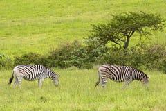 斑马在徒步旅行队公园,南非 库存图片