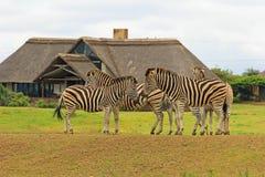 斑马在徒步旅行队公园,南非 库存照片