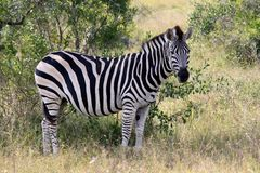 斑马在我们的透镜Krugerpark南非看了 免版税库存照片