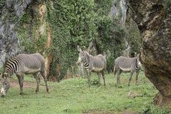 斑马在森林里 库存照片