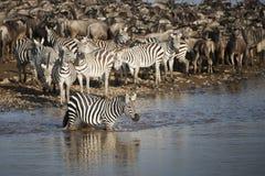 斑马在玛拉河,肯尼亚 免版税库存图片