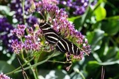 斑马在紫色海泡沫的Longwing蝴蝶开花 免版税库存图片