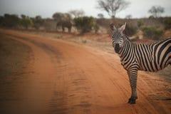 斑马在肯尼亚看照相机 免版税库存图片
