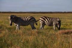 斑马在自然栖所 从自然的野生生物场面 免版税图库摄影