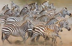 斑马在行动的尘土跑 肯尼亚 坦桑尼亚 国家公园 serengeti mara马塞语 免版税库存图片
