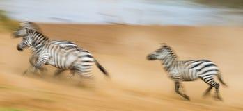 斑马在行动的尘土跑 肯尼亚 坦桑尼亚 国家公园 serengeti mara马塞语 库存图片