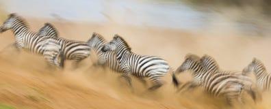 斑马在行动的尘土跑 肯尼亚 坦桑尼亚 国家公园 serengeti mara马塞语 图库摄影