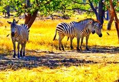 斑马在非洲徒步旅行队公园 库存图片
