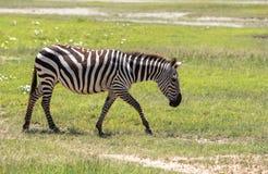 斑马在马赛马拉,肯尼亚 图库摄影