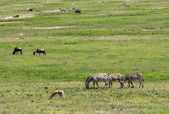 斑马在马赛马拉,肯尼亚 库存图片