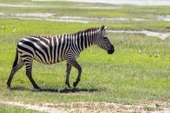 斑马在马赛马拉,肯尼亚 库存照片