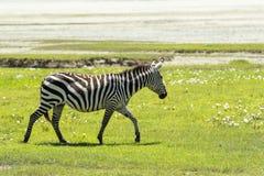 斑马在马赛马拉,肯尼亚 免版税图库摄影