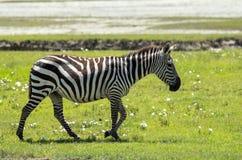 斑马在马赛马拉,肯尼亚 免版税库存照片