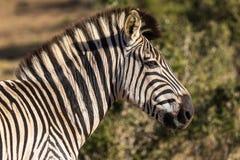 斑马在Addo大象国立公园在伊莉莎白港-南非 库存图片