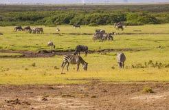 斑马在Amboseli公园,肯尼亚 免版税库存图片