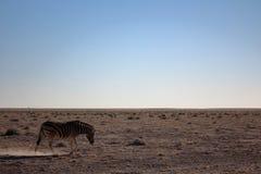 斑马在Etosha,纳米比亚 库存照片