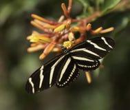 斑马在Firebush厂的Longwing Buttterfly 免版税库存图片