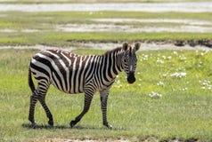 斑马在Ngorongoro卡特,坦桑尼亚 库存照片