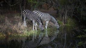 斑马夫妇饮用水 图库摄影