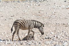 斑马小猫在纳米比亚 图库摄影