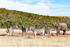 斑马小组- Burchell的斑马 免版税库存照片