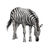 斑马弯曲在吃草下 查出在白色 库存照片