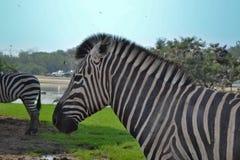 斑马徒步旅行队动物园 免版税图库摄影