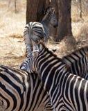 斑马徒步旅行队非洲 库存照片
