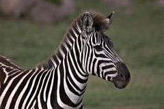 斑马戒备和观看其他 免版税库存图片