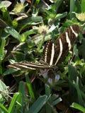 斑马收集花蜜的Longwing蝴蝶 库存照片