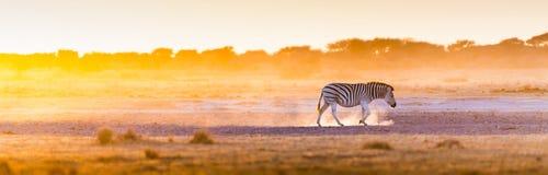 斑马日落非洲 库存图片