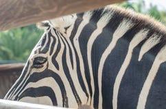 斑马条纹细节  库存图片