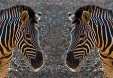 斑马样式和皮肤  免版税库存照片