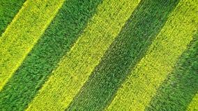 斑马样式绿色和菜子绽放黄色平行的线在培养的领域的 影视素材