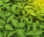 斑马植物或Calathea zebrina Sims Lindl 热带绿色留下自然春季 免版税库存照片