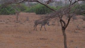 斑马横跨与红棕色地面的沙漠大草原走 股票录像