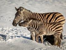 斑马母亲和驹连接,站立户外在雪在动物园里 库存图片
