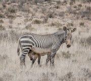 斑马母亲和驹 库存图片