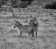斑马母亲和驹 免版税库存照片