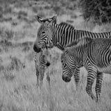 斑马母亲和驹 库存照片