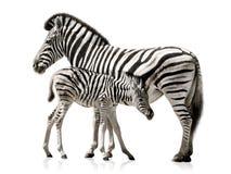 斑马母亲和婴孩 免版税库存照片