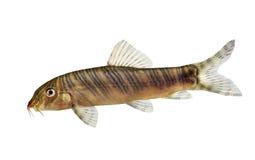 斑马泥鳅鲶鱼Botia striata水族馆鱼 库存图片