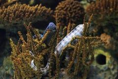 斑马海鳝 免版税库存图片