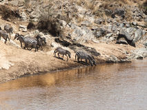斑马牧群在倾斜站立在水附近并且在马塞人玛拉国家公园喝 库存图片