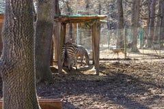 斑马牧群在动物园里 免版税库存照片