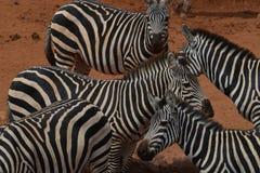 斑马牧群在尘土的 免版税库存图片