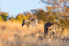 斑马牧群在灌木的 库存照片