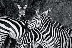 斑马牧群在黑白的 库存照片