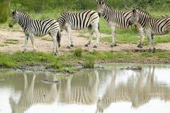 斑马牧群在Umfolozi比赛储备的,南非水池反射了,在1897年建立 库存图片